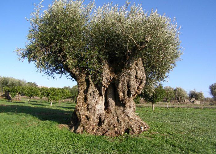 oliveiras-milenares (1)
