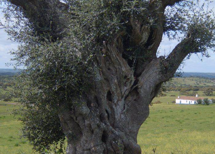 oliveiras-milenares (2)