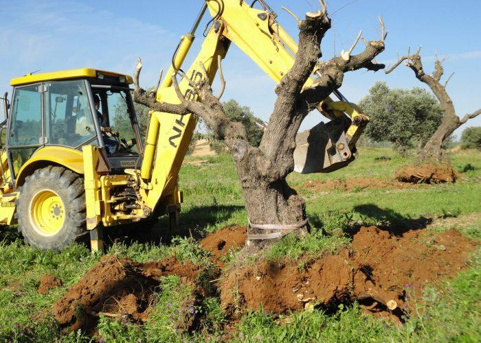 oliveiras-milenares (3)