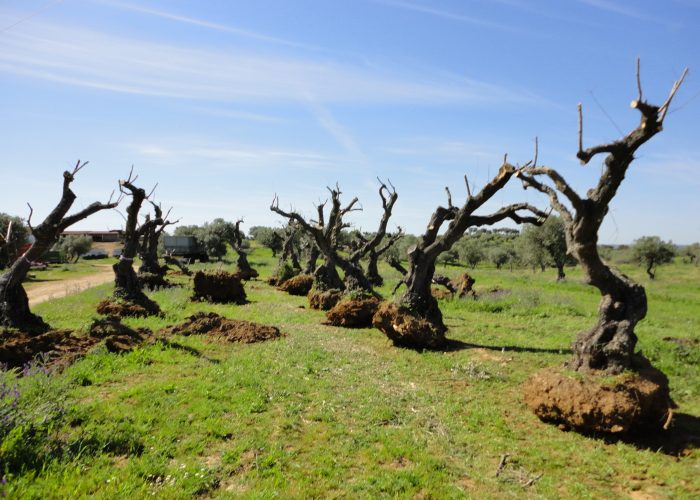 oliveiras-milenares (5)