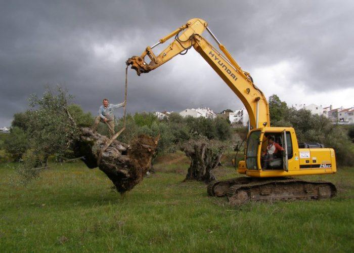 oliveiras-milenares (7)