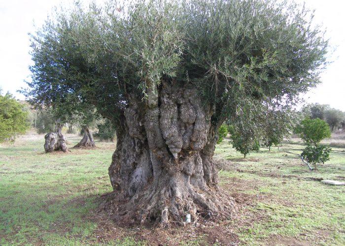 oliveiras-milenares (8)