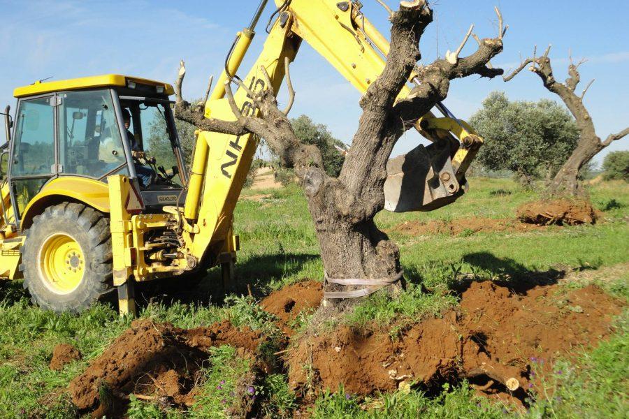 Transplantation of Olive trees