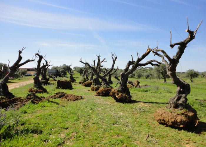 transplante-de-oliveiras (3)